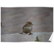 Adorable young sparrow balancing Poster