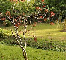 Flame Tree by joshuamolina