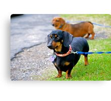 My little black dog! Canvas Print