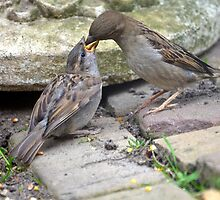 Young sparrow being fed off the nest by Nicole W.