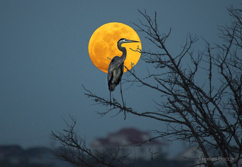 Super Moon and Great Blue Heron by TJ Baccari Photography
