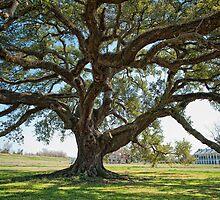 St. Joseph Plantation Oak by Bonnie T.  Barry