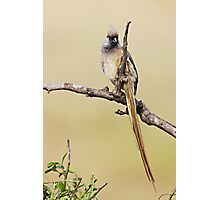 Mousebird Photographic Print