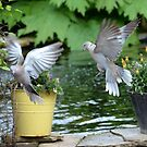 Collared Doves in flight by Nicole W.