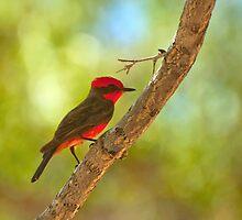 Vermilion Flycatcher by K D Graves Photography