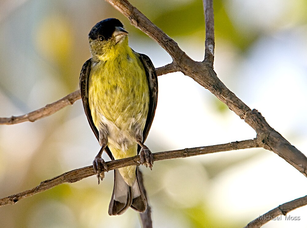 Female Lesser Goldfinch by Michael  Moss