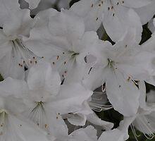 White Azalea by CreatorsBeauty
