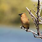 Cedar Waxwing by Alyce Taylor