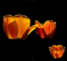 Backlit Tulips by AndreCosto