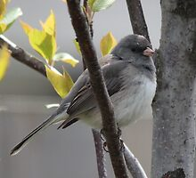 Junco in Budding Cherry Tree by hummingbirds