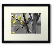 Junco in Budding Cherry Tree Framed Print