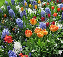Colourful Array of Tulips and Hyacinths - Keukenhof Gardens by MidnightMelody