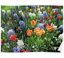 Colourful Array of Tulips and Hyacinths - Keukenhof Gardens Poster