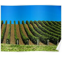 grapevines in rows Poster