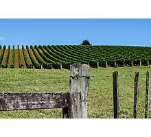 fenced grapevines Photographic Print