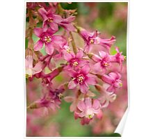 Pink-flowering currant Poster