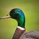 Mallard Portrait by M.S. Photography/Art
