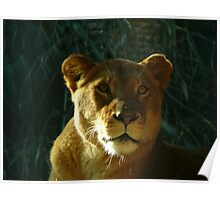 Lioness #2 Poster
