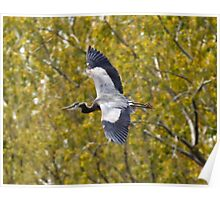 Great blue heron in flight Poster