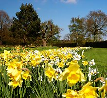 Daffodils by Magdalena Warmuz-Dent