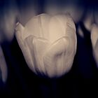 Tulip Blues by KarenM