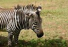 Zebra by LoneAngel