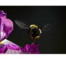 Iris and Bumble Bee Photographic Print
