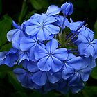 Plumbago Bouquet by Kelly Rockett-Safford