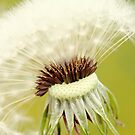 Dandelion 6 by Falko Follert