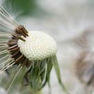 Dandelion 7 by Falko Follert