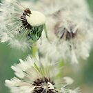 Dandelion 8 by Falko Follert