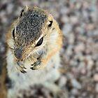 Antelope Squirrel  by Saija  Lehtonen