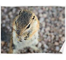 Antelope Squirrel  Poster