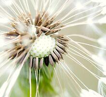 Dandelion 13 by Falko Follert