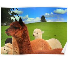 English Llama's, very rare breed !!. Poster