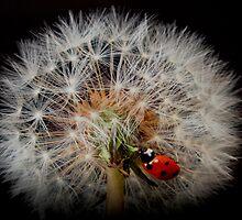 fairy ladybird by clayton  jordan