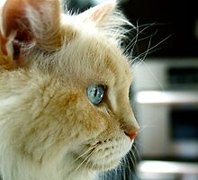 Maeko the ragdoll cat by Industrialgavel