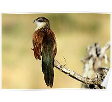 THE WHITE-BROWED COUCAL - Centropus superciliosus  (Witbrouvleiloerie) Poster