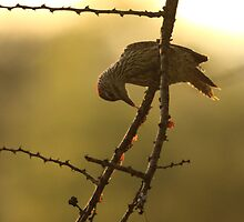Golden-tailed Woodpecker, early morning light (South Africa) by Michael Field