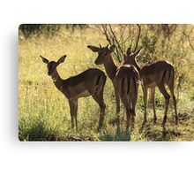 Young Impala, Mkuze game reserve, South Africa Canvas Print