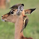 Young Impala with Red-billed Oxpecker, South Africa by Michael Field