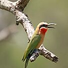 White-Fronted Bee-eater on branch, South Africa by Michael Field
