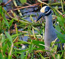 Yellow Crowned Night Heron by Diego Re