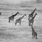 Which Way- Masai Mara Kenya by Pascal Lee (LIPF)