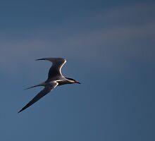 Common Tern by Richard Lee