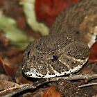 Puffadder by jozi1