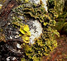 An Eye In The Forest, Cradle Mountain, Tasmania, Australia. by kaysharp