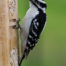 Downey Woodpecker by Anthony Roma