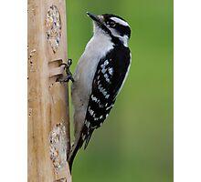 Downey Woodpecker Photographic Print
