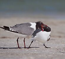 It Must Really Be True Love!  Laughing Gulls. by Daniel Cadieux